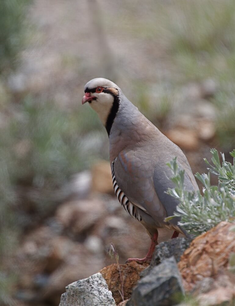 Alectoris Chukar sound