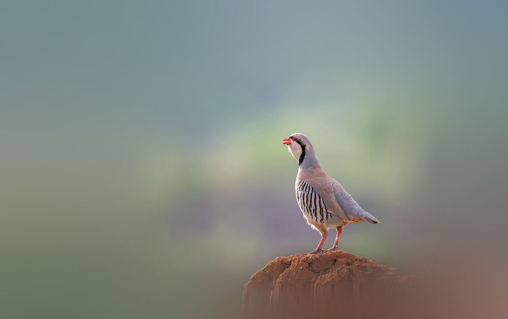 sound of chukar