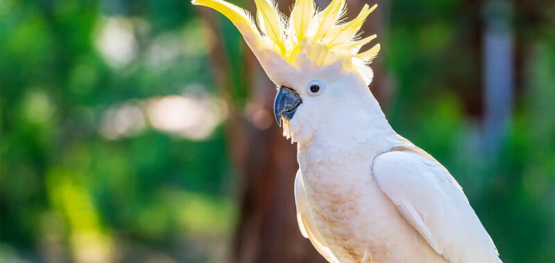 Buy cockatoo