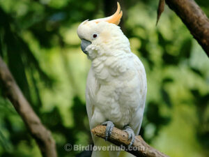 Pricing of Cockatoo